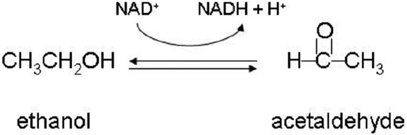 dehydrogenase in yeast essay View essay - alcohol+dehydrogenase+kinetics+protocol+4  in yeast alcohol dehydrogenase catalyzes the reverse reaction as part of fermentation to ensure a.